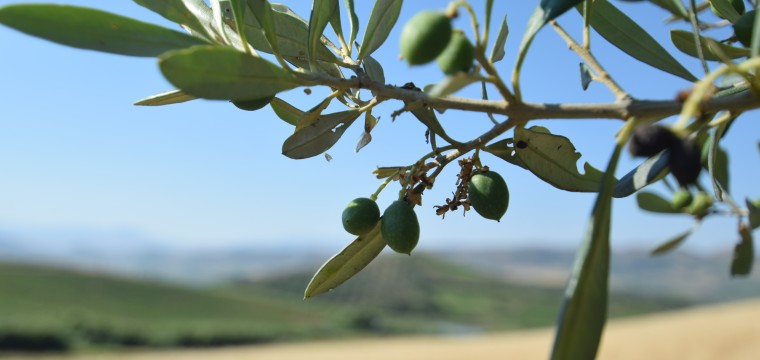 Early Harvest Sicilian Olive Oil Arriving Soon! featured image